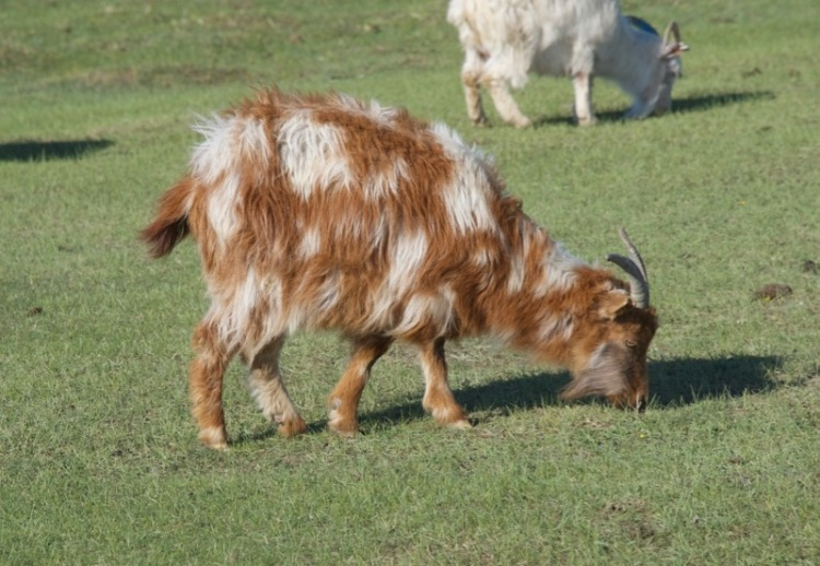 1a. spotted goat