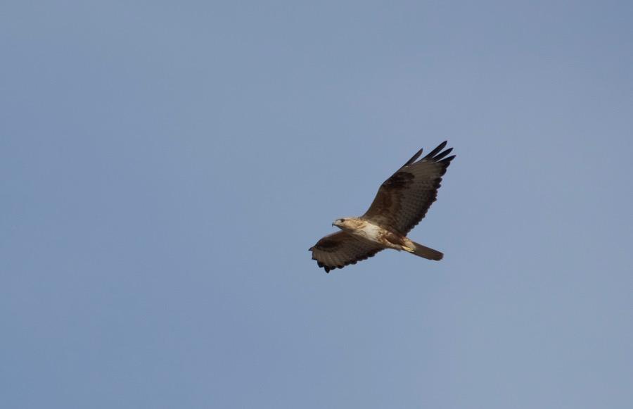33. long-legged buzzard