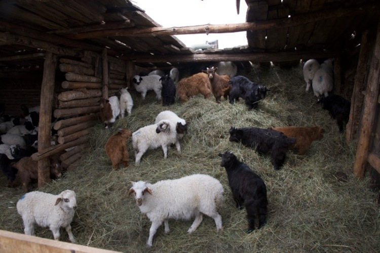 5. goats and sheep