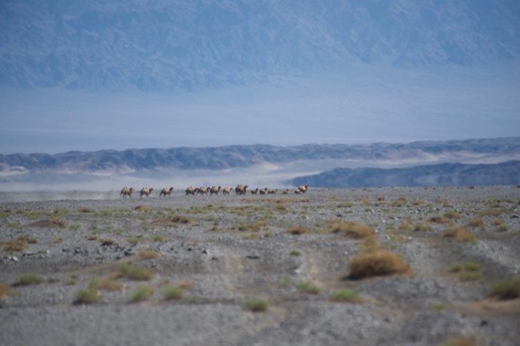 9. camels