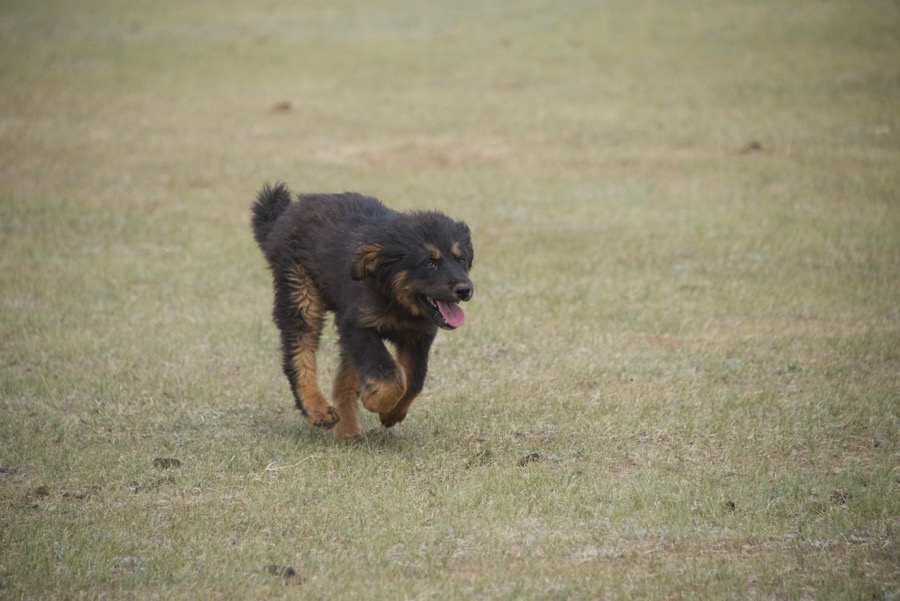 11-bankhar-puppy