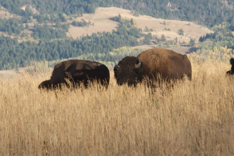 a bull bison