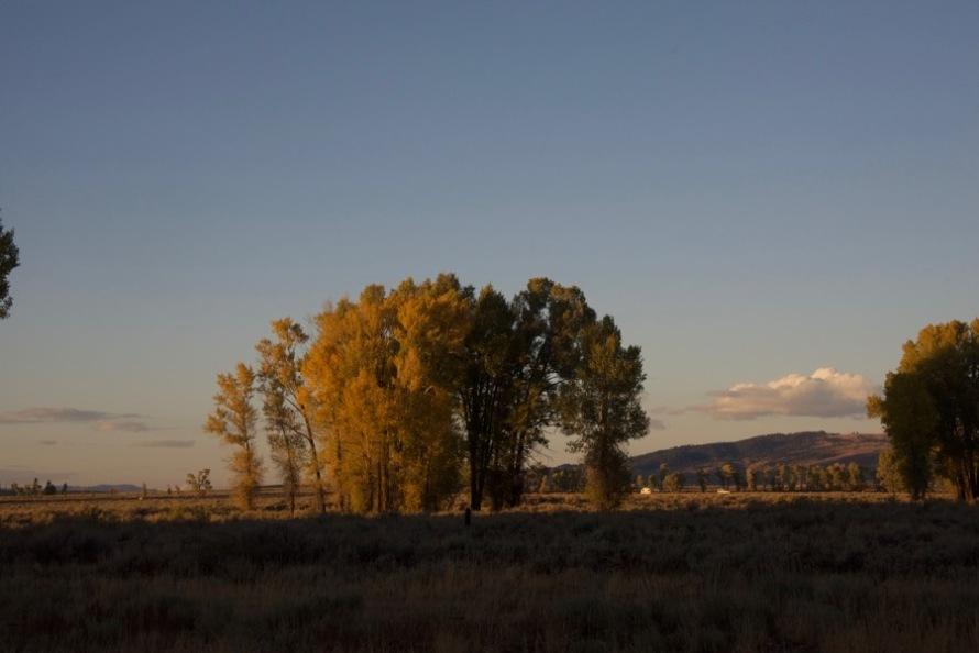 late light cottonwoods