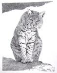 """Bobcat"" 14.5x9.5"" graphite on paper $300"
