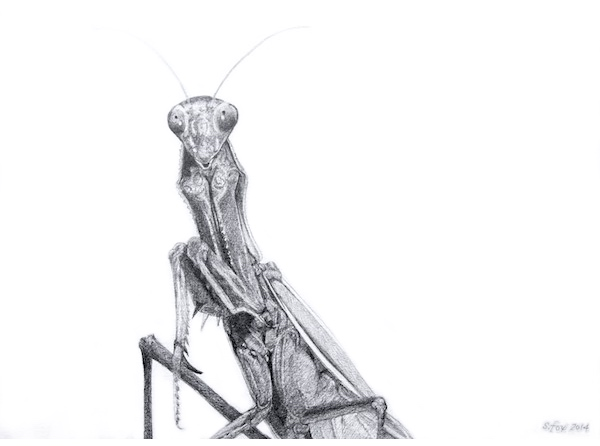 california-mantis