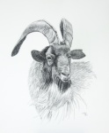 """""""Cashmere Goat"""" 17x14"""" charcoal pencil on paper $300"""