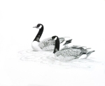 """""""Canada Geese Swimming"""" 14x17"""" graphite on paper $300"""