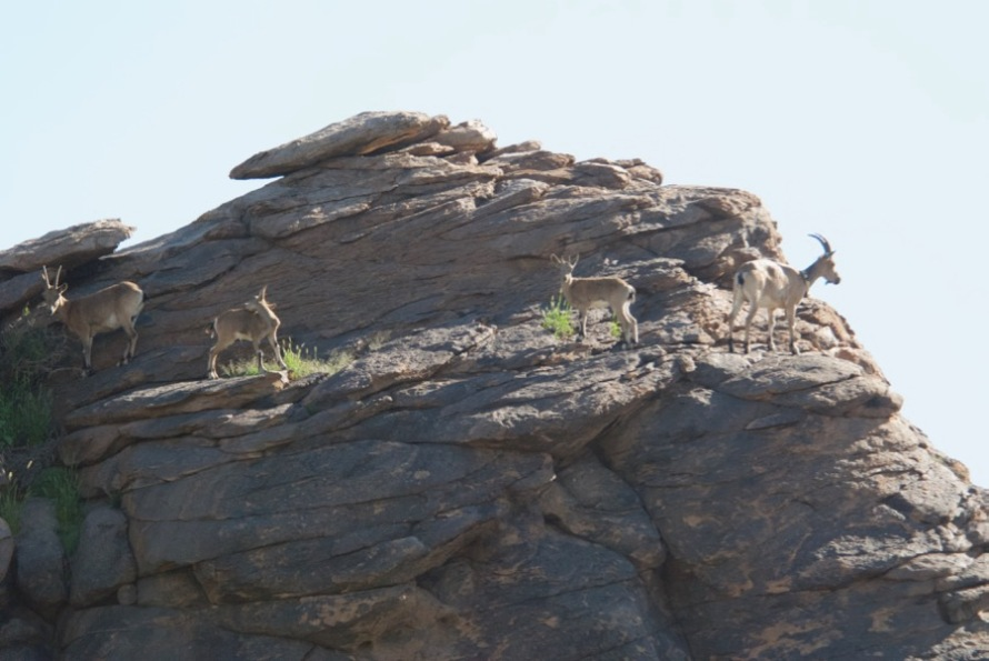 4-ibex-on-rock