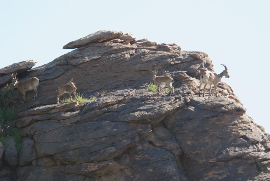 4-ibex-on-rock