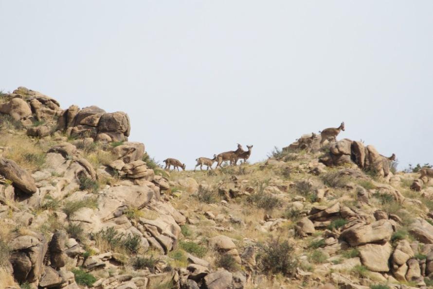 6-ibex