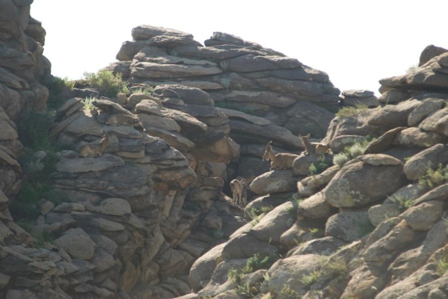 7-ibex