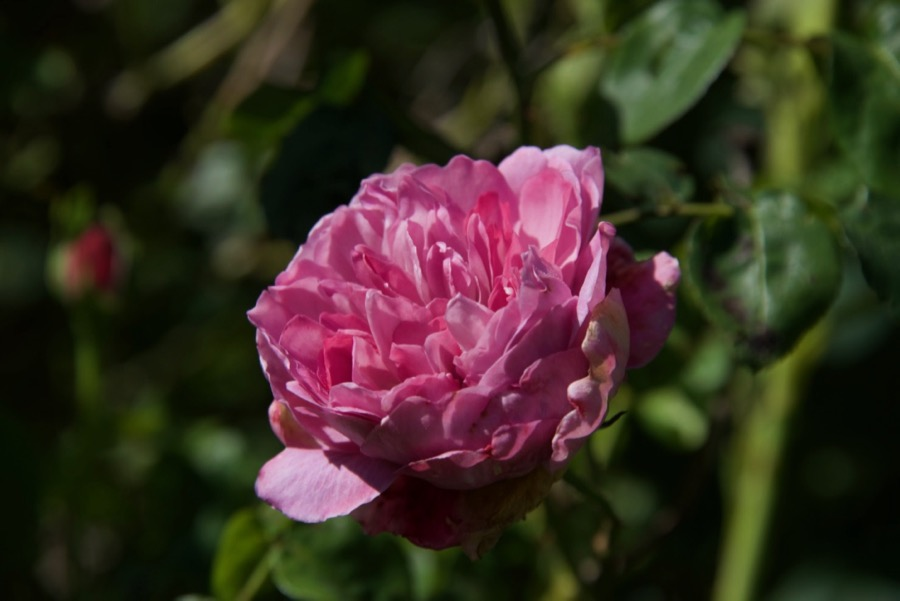 CRMc rose