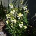 pale yellow wallflower