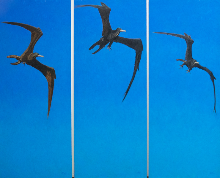 Frigate-bird-triptych